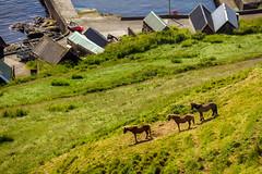 Three horses at Velbastaður, Faroe Islands
