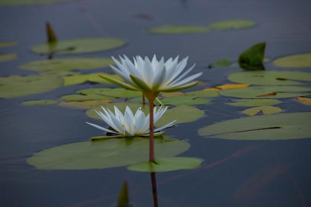 Water daylily
