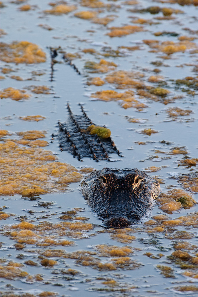 An American alligator lies mostly submerged in Huntington Beach State Park
