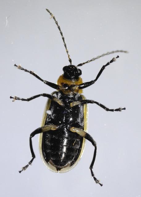 Header of Acalymma trivittatum