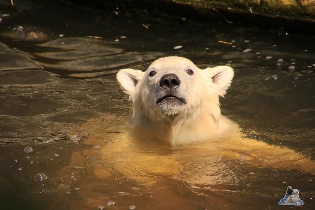 Eisbär Fiete im Zoo Rostock 0215