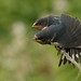 Young Swallow having a stretch. by Sandra Standbridge.