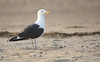 Great Black-backed Gull - Larus marinus