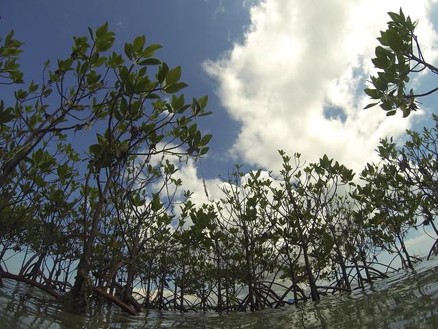 かわいいマングローブ林