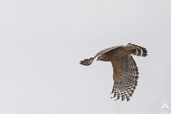 Red shouldered hawk (3)