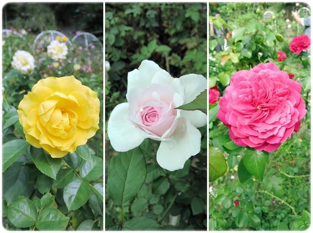 各款玫瑰花