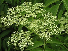 evergreen(0.0), cow parsley(0.0), anthriscus(0.0), meadowsweet(0.0), apiales(1.0), shrub(1.0), flower(1.0), plant(1.0), herb(1.0), produce(1.0), elderberry(1.0),