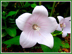 Pink-coloured Platycodon grandiflorus (Balloon Flower, Chinese/Korean/Japanese Bellflower) Nov 30 2013