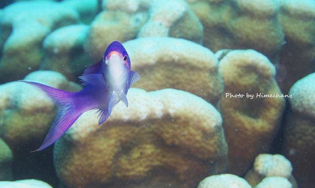 サンゴの上にハナゴイ