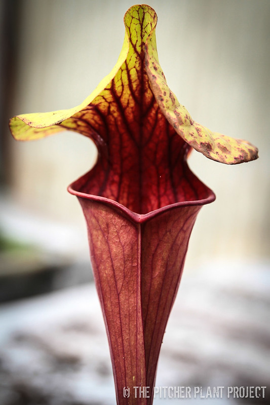 "Sarracenia ""Monster Cat"""