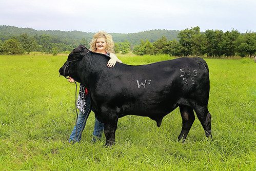 Dakota Williams with cattle