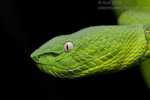 <i>Trimeresurus vogeli</i>_MG_0585 copy