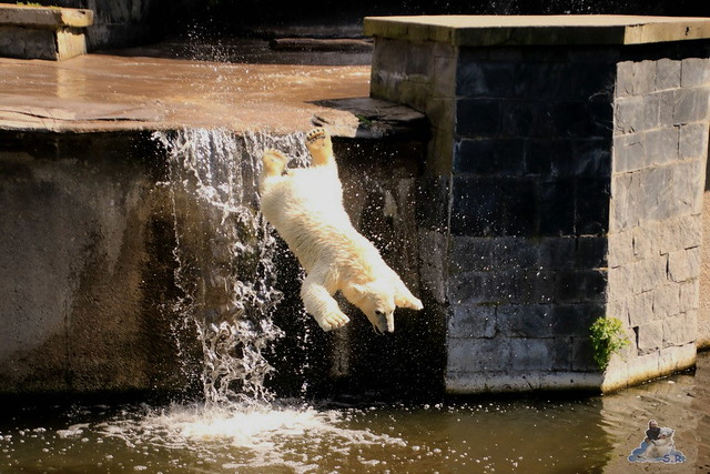 Eisbär Fiete im Zoo Rostock 094