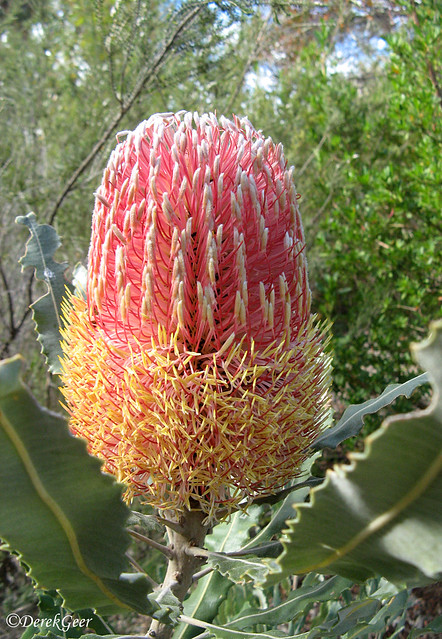 Menzies Banksia, Canon POWERSHOT A710 IS