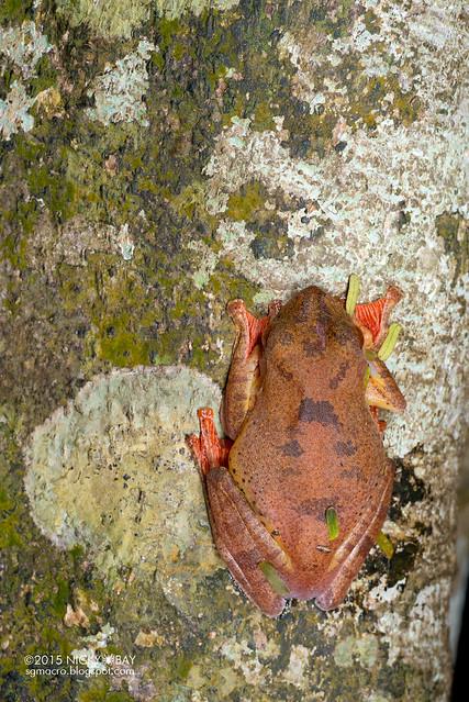 Harlequin flying frog (Rhacophorus pardalis) - DSC_4652