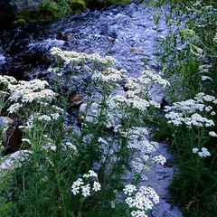 #wildflowers and a gurgling creek at #sundance in #utah #almostheaven