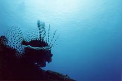 Lionfish Silhouette