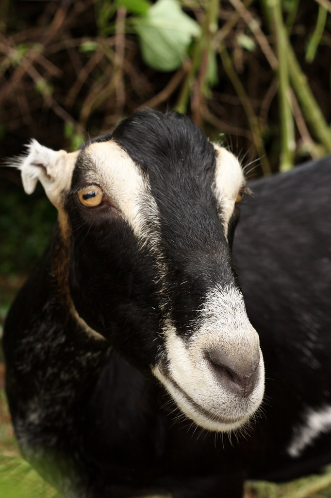 CC Goat B&W