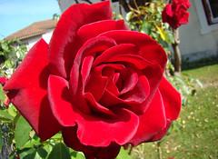 LA ROSE dans tous ses etats... 2