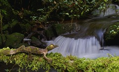 Leaf tailed gecko (Uroplatus sikorae)