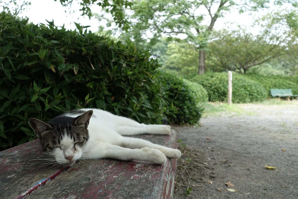 A cat in Mejo park 2015/08 No.1.