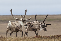 animal, deer, plain, horn, herd, fauna, grassland, safari, wildlife, reindeer,