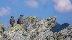 Ptaszki na Szpiglasowej Przełęczy