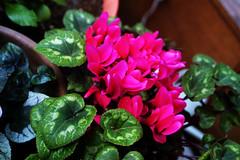 macro photography(0.0), annual plant(1.0), flower(1.0), leaf(1.0), plant(1.0), flora(1.0), green(1.0), cyclamen(1.0), floristry(1.0), herbaceous plant(1.0), pink(1.0), petal(1.0),