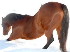 rein(0.0), horse grooming(0.0), animal(1.0), mane(1.0), mare(1.0), stallion(1.0), brown(1.0), mammal(1.0), horse(1.0), mustang horse(1.0),