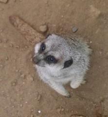 raccoon(0.0), animal(1.0), marsupial(1.0), mammal(1.0), fauna(1.0), viverridae(1.0), meerkat(1.0), procyonidae(1.0),