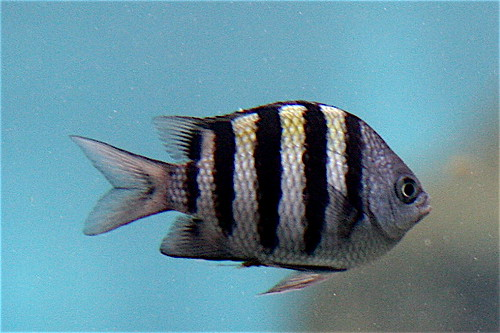 Striped saltwater fish striped saltwater fish fish for Black and white striped fish freshwater