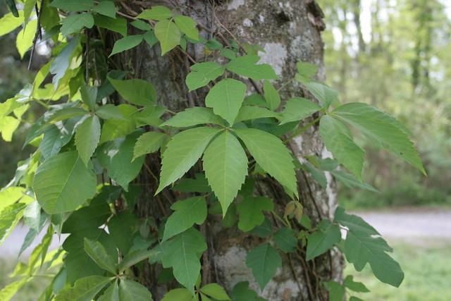 Virgina creeper Poison Ivy