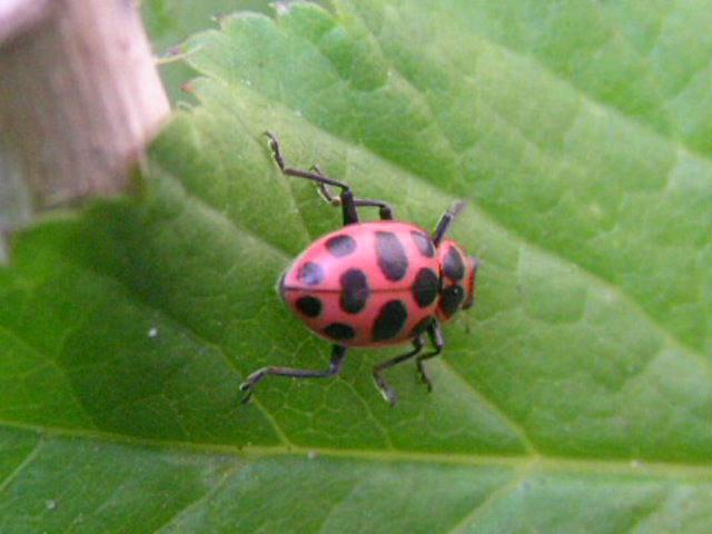 Pink ladybug - photo#17