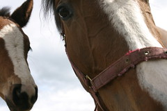 mane, mare, rein, mammal, halter, bridle, horse tack, horse, horse harness, horse grooming,