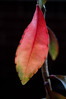 Turning Leaf by Jocelyn Bassler