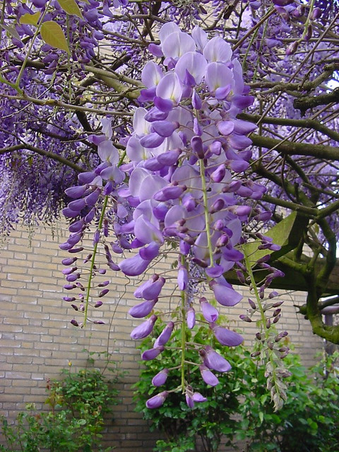 Purpleblue flowering trees a gallery on flickr blauwe regen wisteria mightylinksfo