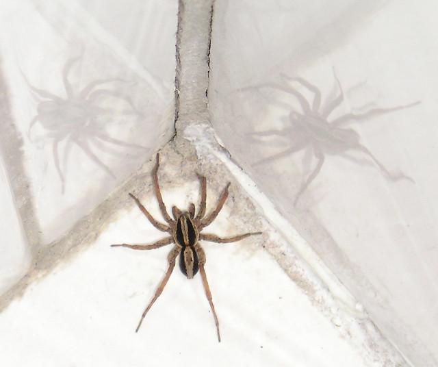WEE BEASTIES SPIDER #9 THE THREE TERRORS