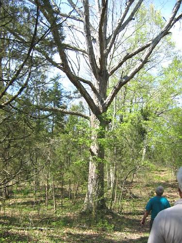 Oak at a distance
