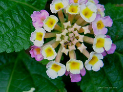 annual plant, flower, plant, wildflower, flora, lantana camara, petal,