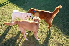 ibizan hound(0.0), animal(1.0), dog(1.0), pet(1.0), mammal(1.0), hunting dog(1.0),
