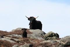 mountain goat(0.0), muskox(0.0), cattle-like mammal(1.0), animal(1.0), mammal(1.0), horn(1.0), goats(1.0), fauna(1.0), cattle(1.0), yak(1.0), wildlife(1.0),