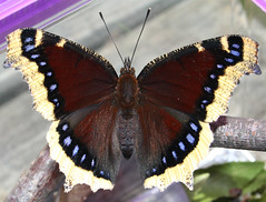 Mourning Cloak - Photo (c) Aleta Rodriguez, some rights reserved (CC BY-NC-ND)