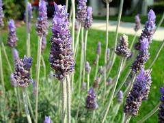 hyssopus(0.0), dactylorhiza praetermissa(0.0), hyacinth(0.0), lavandula dentata(1.0), flower(1.0), purple(1.0), english lavender(1.0), plant(1.0), lavandula stoechas(1.0), lavender(1.0), lilac(1.0), lavender(1.0), herb(1.0), wildflower(1.0), flora(1.0),