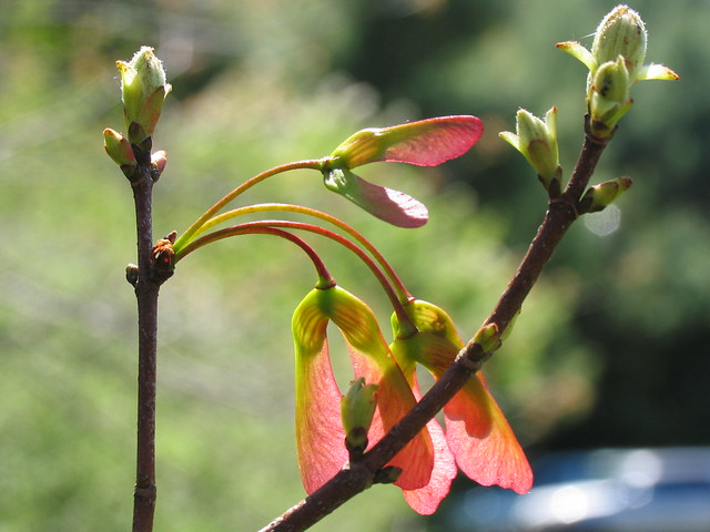 Red Maple Fruit (Contextual View)
