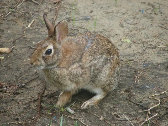 Wild Backyard Rabbits :  Collection Galleries World Map App Garden Camera Finder Flickr Blog