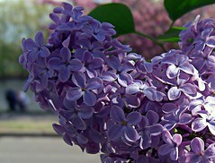 english lavender(0.0), lavender(0.0), blue(0.0), lilac(1.0), flower(1.0), violet(1.0), plant(1.0), lilac(1.0), lavender(1.0), flora(1.0), petal(1.0),