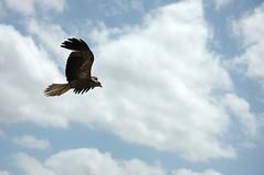 flying_eagle