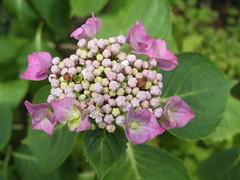 blossom(0.0), annual plant(1.0), shrub(1.0), flower(1.0), leaf(1.0), hydrangea serrata(1.0), plant(1.0), lilac(1.0), flora(1.0), hydrangeaceae(1.0),