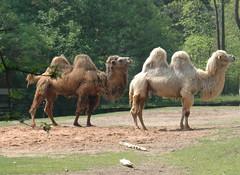 Kamel camel