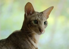 abyssinian(0.0), toyger(0.0), peterbald(0.0), burmilla(0.0), donskoy(0.0), chausie(0.0), oriental shorthair(0.0), javanese(0.0), tonkinese(0.0), korat(0.0), rusty-spotted cat(0.0), burmese(0.0), animal(1.0), small to medium-sized cats(1.0), european shorthair(1.0), fauna(1.0), close-up(1.0), cat(1.0), carnivoran(1.0), whiskers(1.0), ocicat(1.0), domestic short-haired cat(1.0),